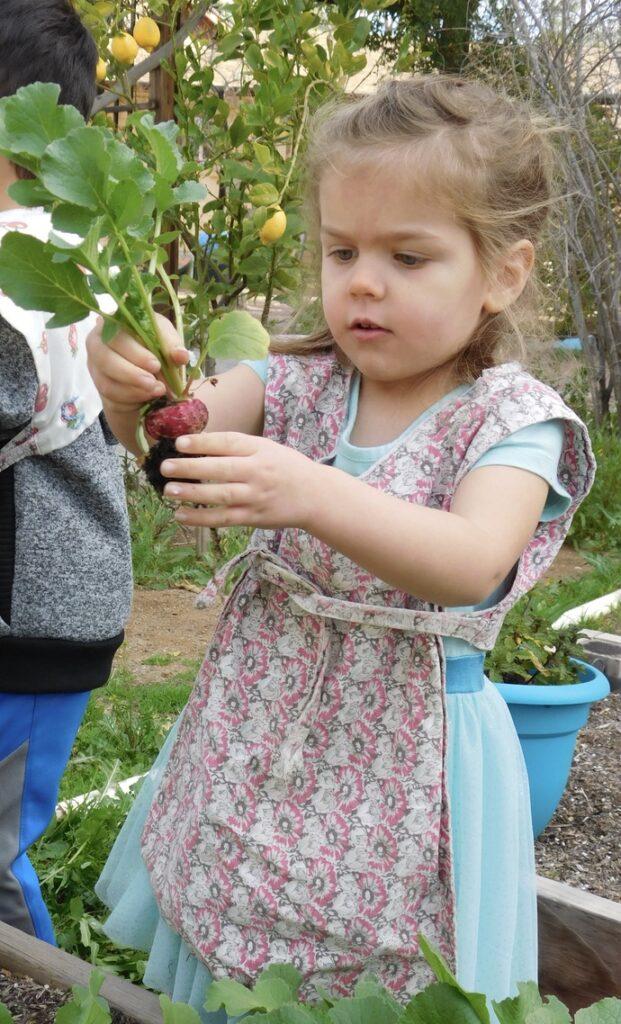A Montessori preschooler handles a radish she just picked from the garden.